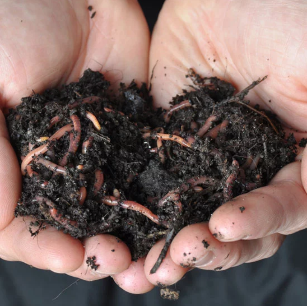 Buy Composting Worms